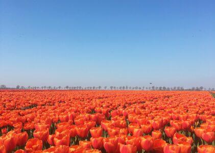 Onze tulpen
